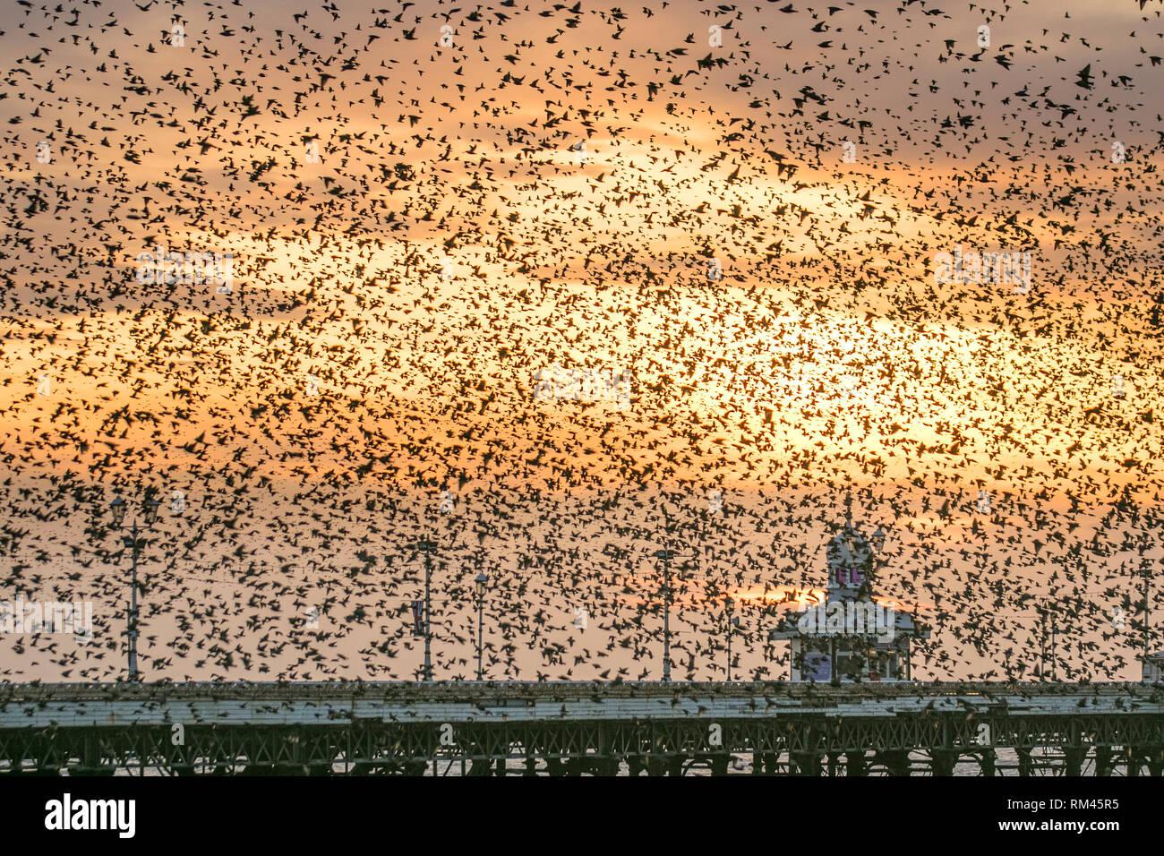 Blackpool, Lancashire. 13 février 2019. Un essaim de dizaines de milliers d'étourneaux se rassemblent pour se percher dans Blackpool's Victorian North Pier. Ces oiseaux étonnants mis sur un vol superbe affichage à l'un des seuls une poignée de leurs sites préférés dans tout le Royaume-Uni. Par temps calme, les énormes troupeaux de mumurating les étourneaux dont le nombre est estimé à 100 000 et prendre la relève sur le rivage avant de se percher. Les troupeaux sont jointes à cette époque de l'année par les oiseaux migrateurs du continent de l'Europe à la recherche d'un abri contre le froid et le sud. Credit: MediaWorld Images/Alamy Live New Photo Stock