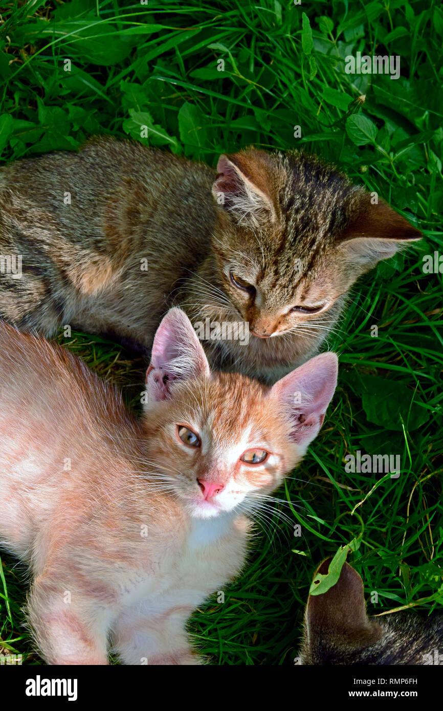 Un chaton tigré gris scrutant son frère tout en fixant les deux gingembre sur terrain vert turfy Banque D'Images