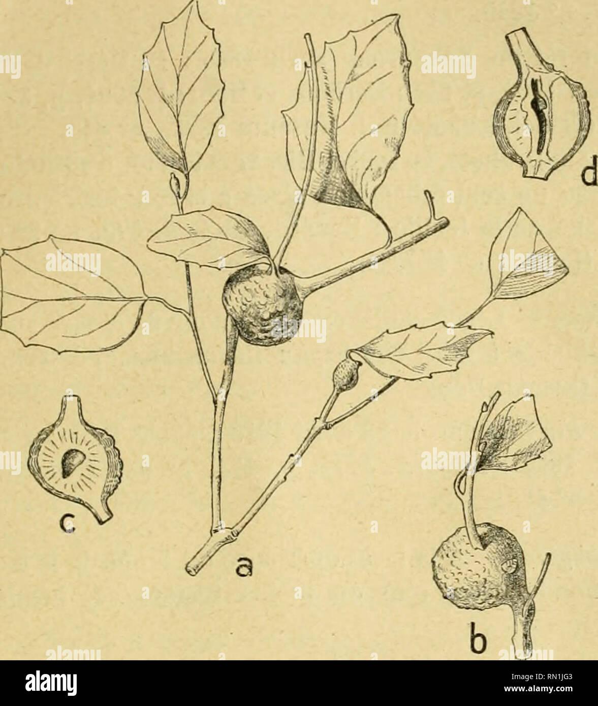 """. Annales de la Société entomologique de France. Les insectes; l'entomologie. Les Zoocécidies du Nord de l'Afrique. u""""^ mi, lig. 498-499; 1911, p. 262, n""""^ cécidol; Collection 21. La main-d'œuvre. Ent. Muséum Paris, n"""" 418; Collection cécidol. C.Houard, n"""" 197.. Quercus suber. Synoplirus politus (w 44). Fig. 34 (a). Rameau présentant 3 cécidies dont deux très jeunes (d'ap. nat. ; Gr., o.5). Fig. 35 (b). - Aspect extérieur d'une galle adulte (d'ap. nat., gr. 0,-5). Fig. 36 (c). - Section longitudinale d'une galle (d'ap. nat., gr. 0,5). Fig. 37 (d). - Autre cécidie coupée en long (d'ap. nat. ; Gr. 0,5) Photo Stock"""