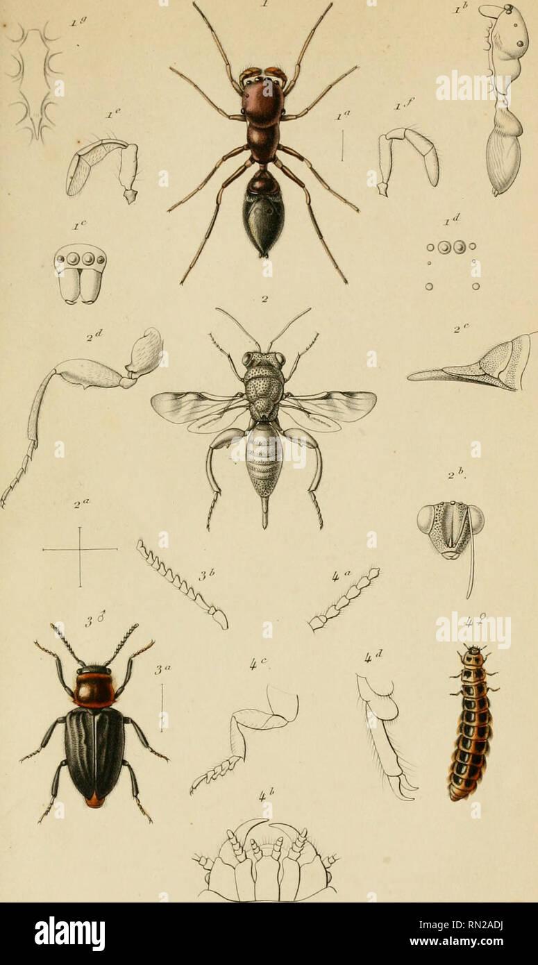 """. Annales de la Société entomologique de France. Les insectes; l'entomologie. Aiinii/fs lir lu . S'otueif rUitnuilti^^j' t/^iie Je Fn. Ji':Seri,'.T""""""""u' [..pi.mii je.. R,u,.ul.- f,' Dehrta^^ <j'C- / SiillicK rniifit.f nii/'/ornii.r, ô.Liicn.r. ?J . AlldCi'rd i(FII/ou, 0 . /.U&Lt;-il.r. Si à 3.. Mil/tli-tii/<l.j-f,'r Jhl.isil , o a.&Lt; r"""","""" ii,"""""""".,-j,-. r.,i. Veuillez noter que ces images sont extraites de la page numérisée des images qui peuvent avoir été retouchées numériquement pour plus de lisibilité - coloration et l'aspect de ces illustrations ne peut pas parfaitement ressembler à l'œuvre originale.. Société entomologique Banque D'Images"""