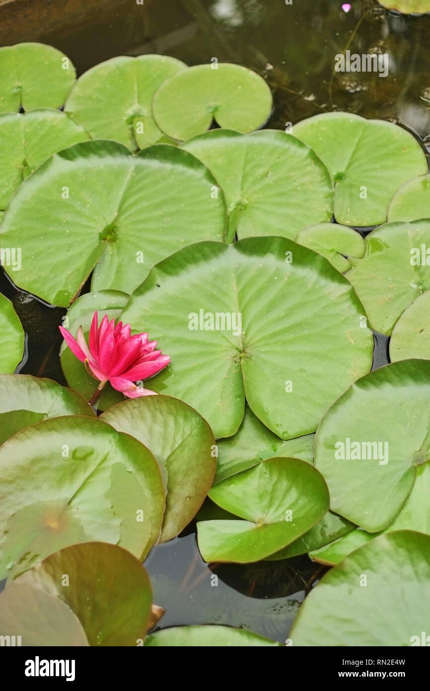 Grand Lotus pourpre algues rond vert Banque D'Images