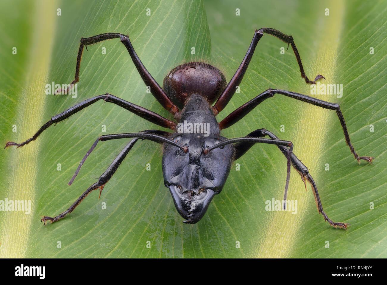 Forêt géant Ant, Camponotus gigas, Bornéo plus grande espèce de fourmis sur la terre (environ 1 po de longueur) Banque D'Images