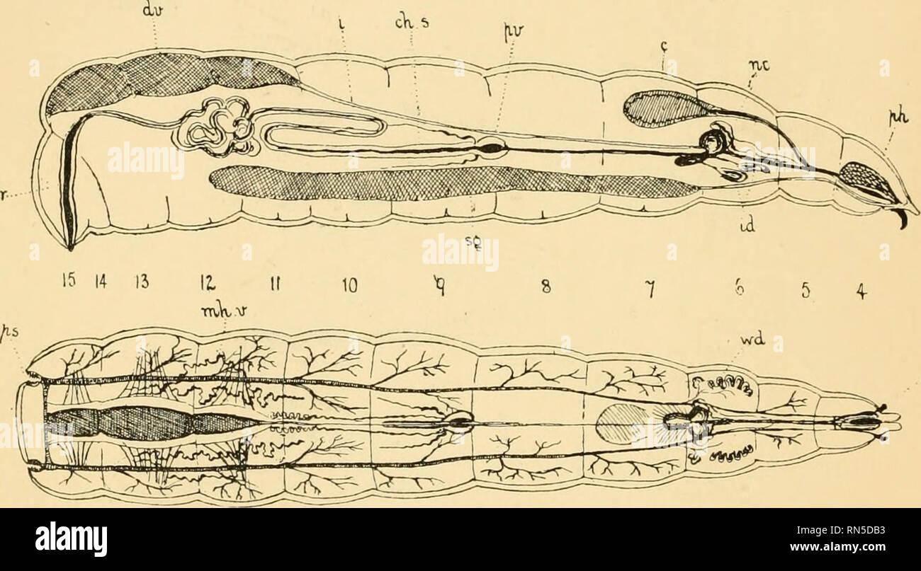 Calliphora Erythrocephala Photos & Calliphora Erythrocephala