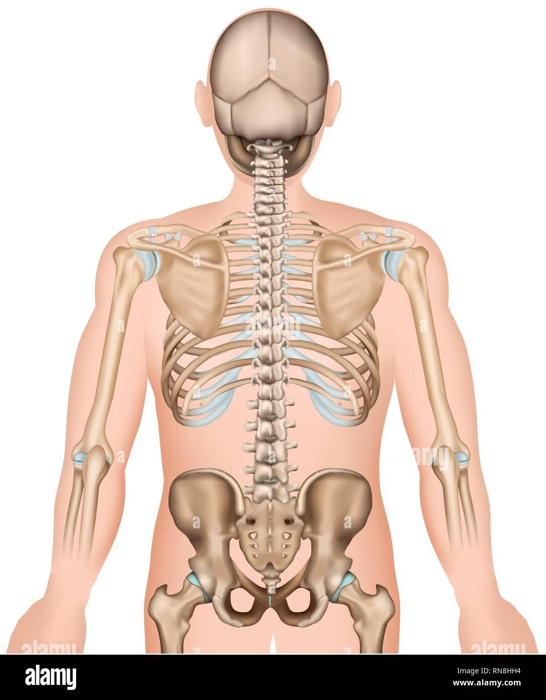 Les os de la hanche et dos côtes médicale 3d vector