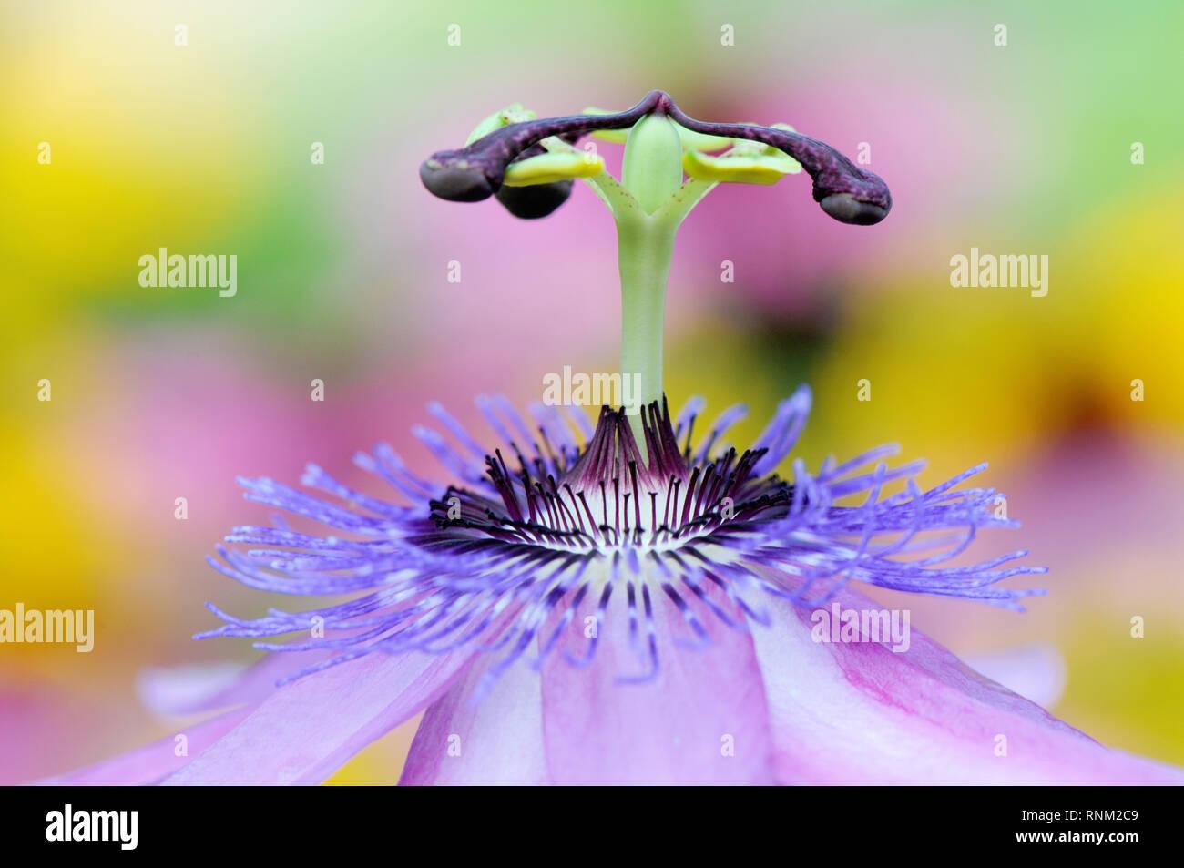 Image en gros plan de la belle fleur de la Passion Passiflora 'Lavender Lady' (également connu sous le nom de Lady Lavande Passion vine Banque D'Images
