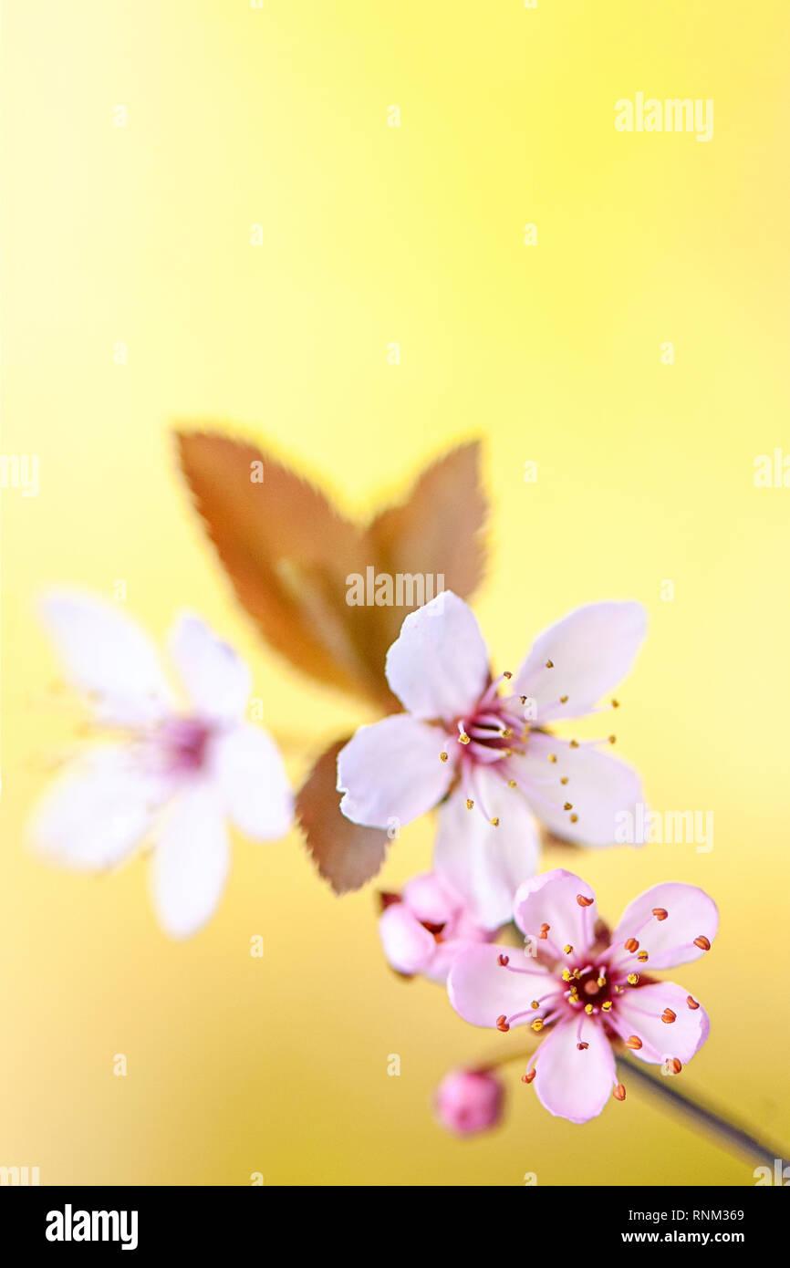 Image de la belle, rose, Fleur de cerisier en fleurs fleurs de printemps Banque D'Images