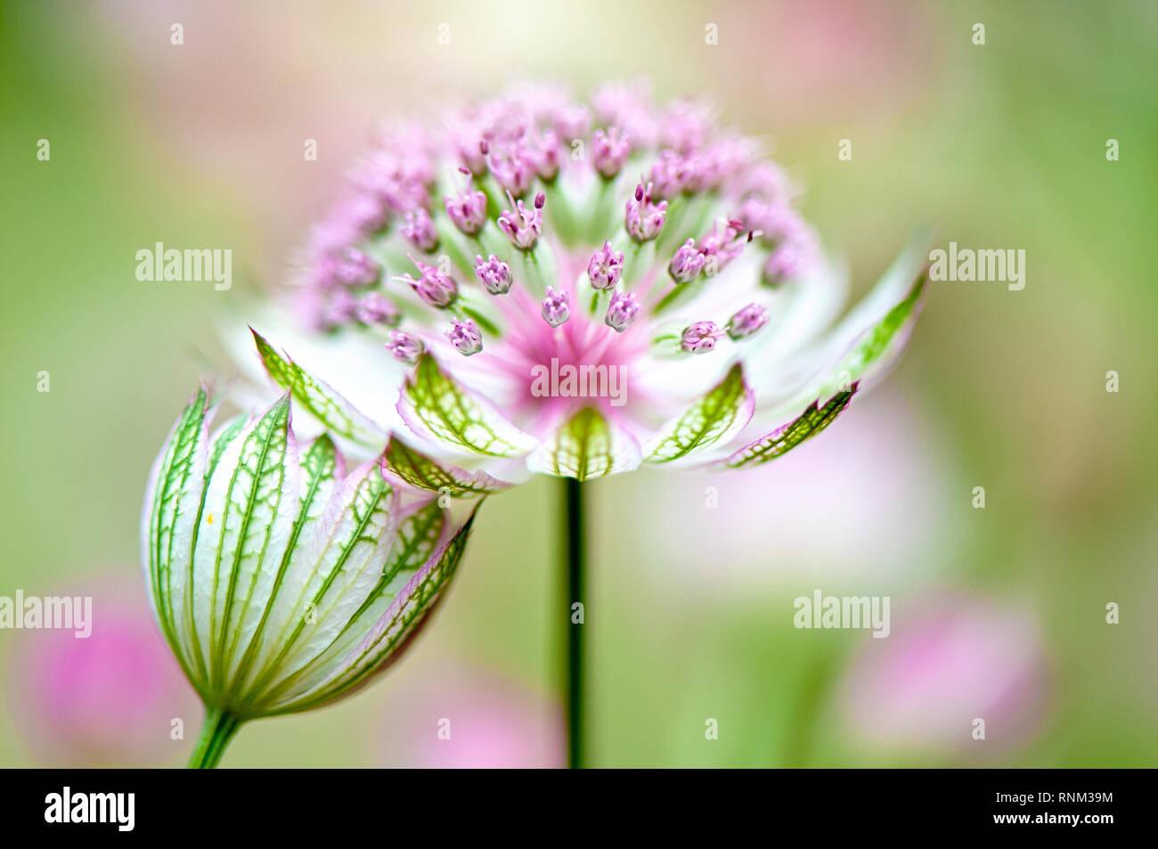 Fermer- image de la belle floraison mijoter Astrantia major également connu sous le Masterwort ou en coussinet de Hattie Banque D'Images