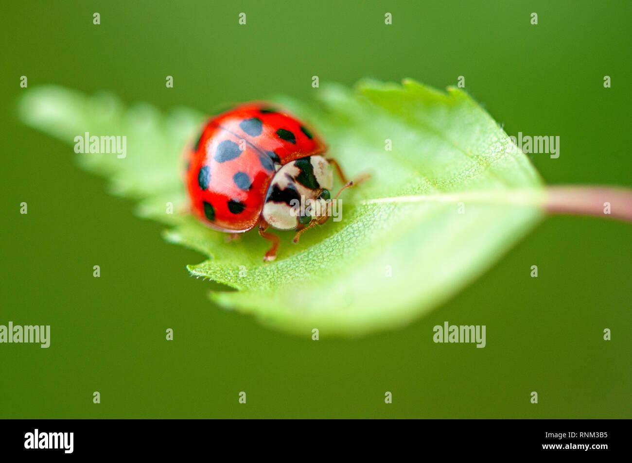 Image en gros plan d'Harmonia axyridis, plus communément connu sous le nom de la coccinelle asiatique multicolore, Arlequin, ou simplement ladybeetle Asiatique Banque D'Images