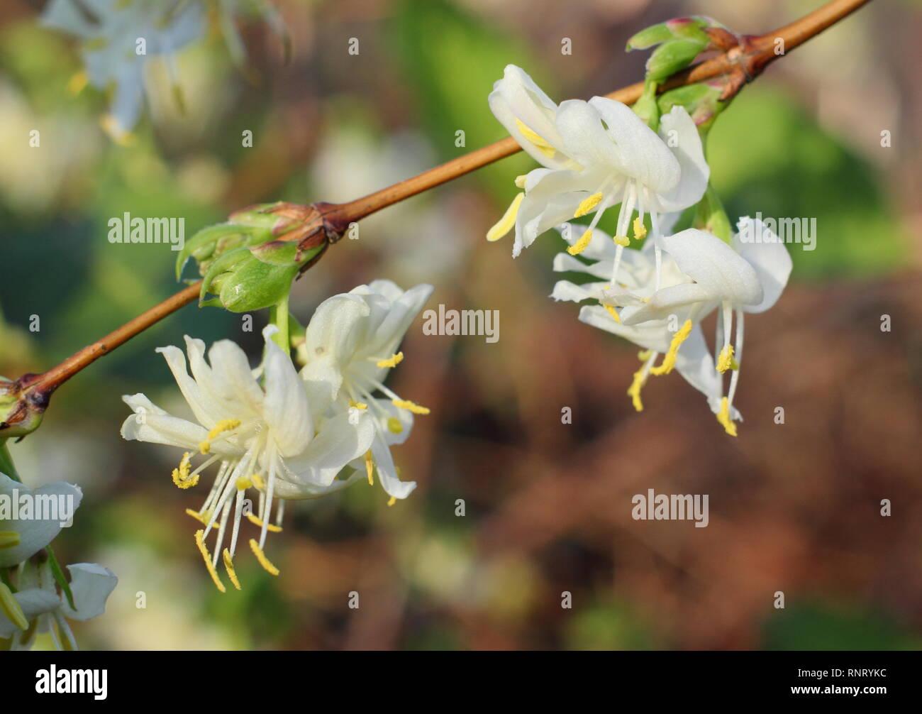 Lonicera fragrantissima-Hiver-Floraison Chèvrefeuille-Parfumée Arbuste 40 graines