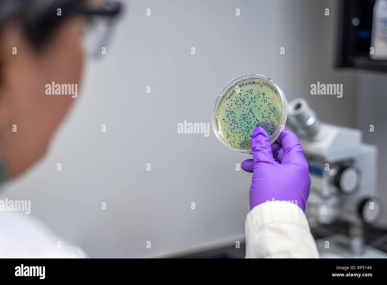 Femme scientifique microbiologiste / l'examen de la plaque de culture bactérienne Banque D'Images