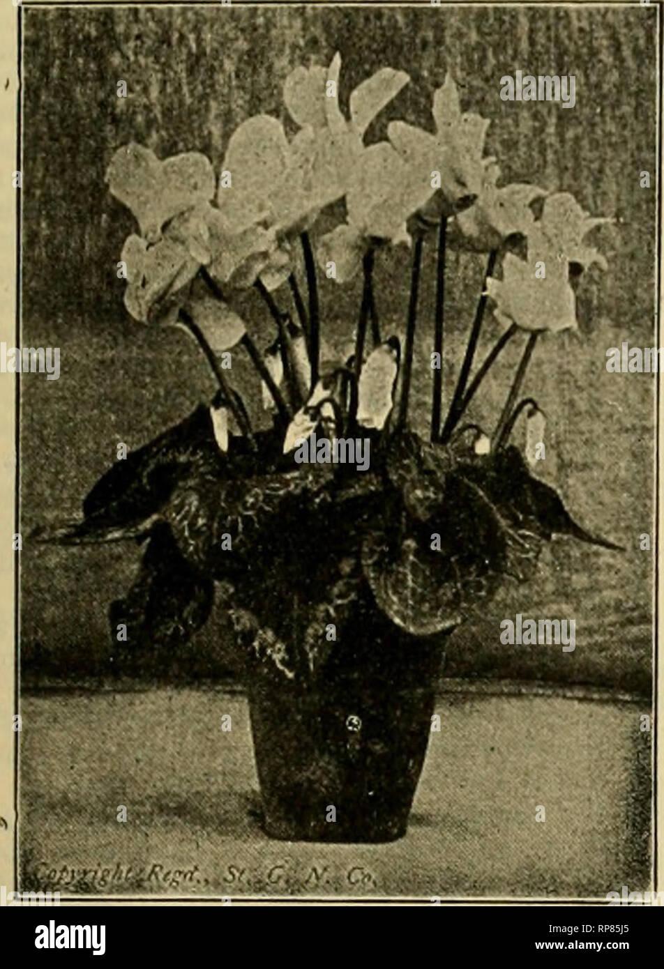 """. La fleuriste américain: un journal hebdomadaire pour le commerce. La floriculture; fleuristes. igog. L'American Fleuriste. 269. Des cultures de semences 1909 CYCLAMEN. Il suffit de regarder cette plante! Je son est un échantillon de nos plantes à graines, et qu'OnC an. Vous ne pouvez pas l'égalité de la souche d'ailleurs. Notre spécialité depuis 36 ans. Avez-vous essayé de """"notre propre"""" Saumon géant King, le meilleur saumon cultivé. Une attention personnelle accordée à la main la fertilisation de toutes les semences de fleurs. Nous sommes impatients de vous servir. Graine par oz. sur demande. Liste gratuitement. En sept couleurs distinctes comme sélectionné pour le marché. Conditions Paiement sur commande net. Photo Stock"""