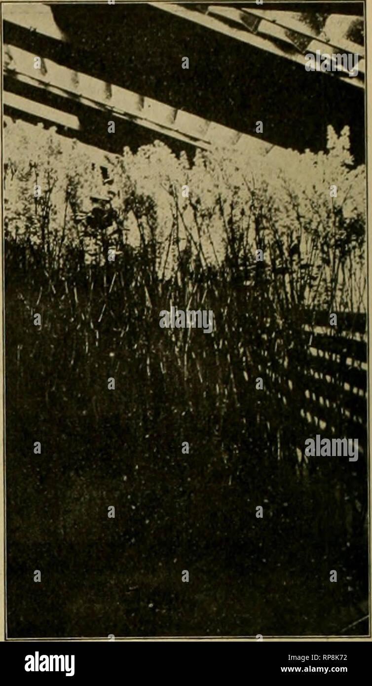 . La fleuriste américain: un journal hebdomadaire pour le commerce. La floriculture; fleuristes. Maisons de lilas forcer M. QRAINDORGE, Vitry. Le lilas après F.fteen metholene. Forçage jours bleu comme la lumière produisant des fleurs bleu azur, du saumon produit violet fleurs rouge orange de méthyle; pro- duit et de soufre jaune doré; fleurs de couleur rouge carmin produit l'éosine flow- ers; avec des colorants légèrement différentes pour la couleur des tiges. La teinture est dit pour être facilement par efiected briser ou écraser les extrémités des tiges florales par un léger coup de marteau, puis plongeant pendant quelques heures dans une petite bouteille hol Banque D'Images