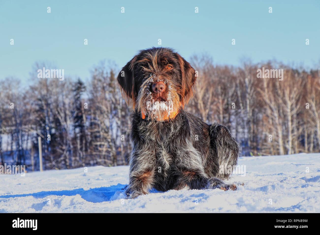 Un beau quartier bohème le Griffon à poil couché dans la neige et en attente de signal. Cesky fousek est grand chasseur. Griffon Korthals. Barbu tchequ Photo Stock