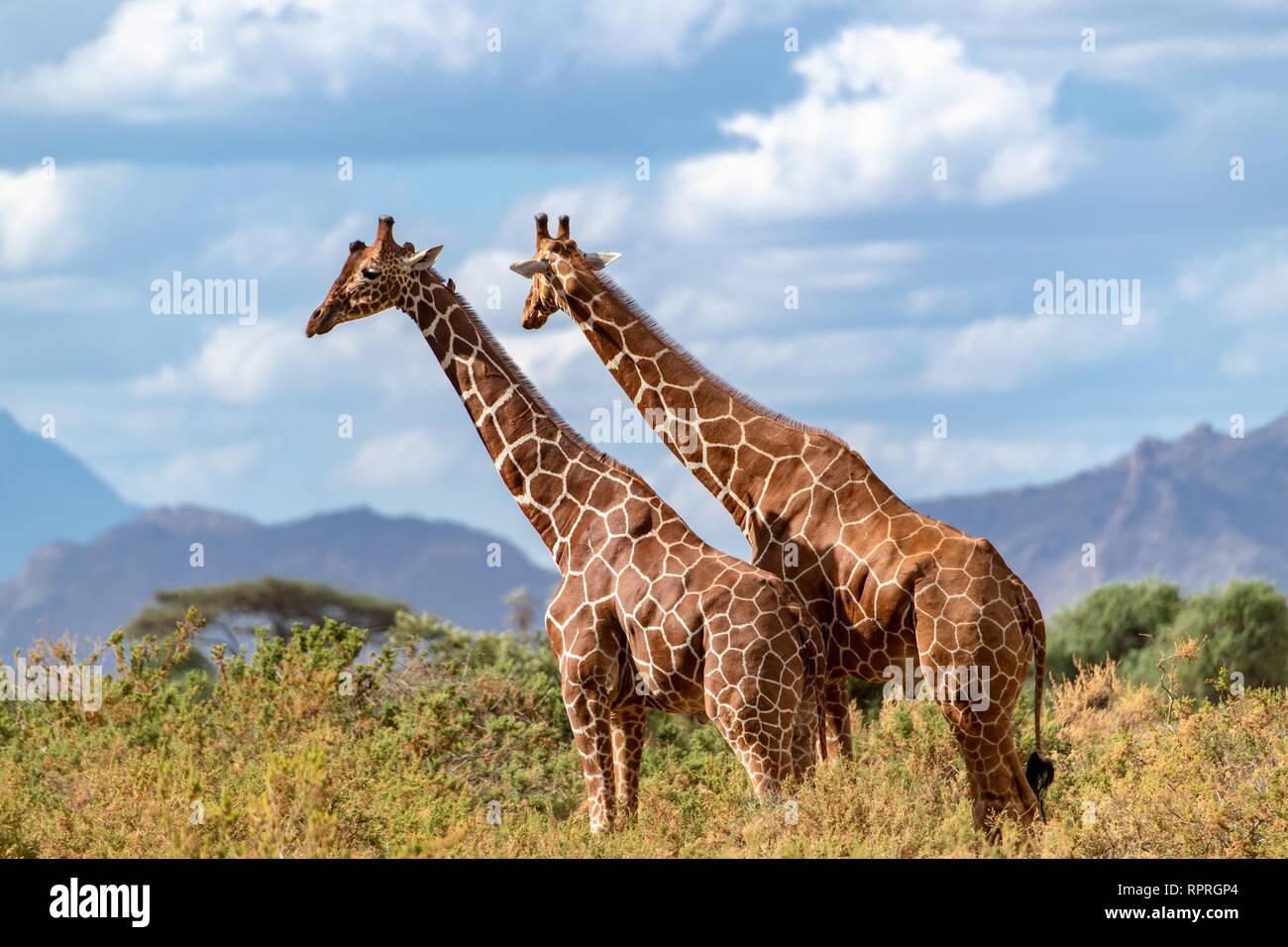 Deux girafes réticulée (Giraffa camelopardalis reticulata) sondage le scène de fin d'après-midi au Kenya, Afrique. Elles sont considérées en danger. Banque D'Images