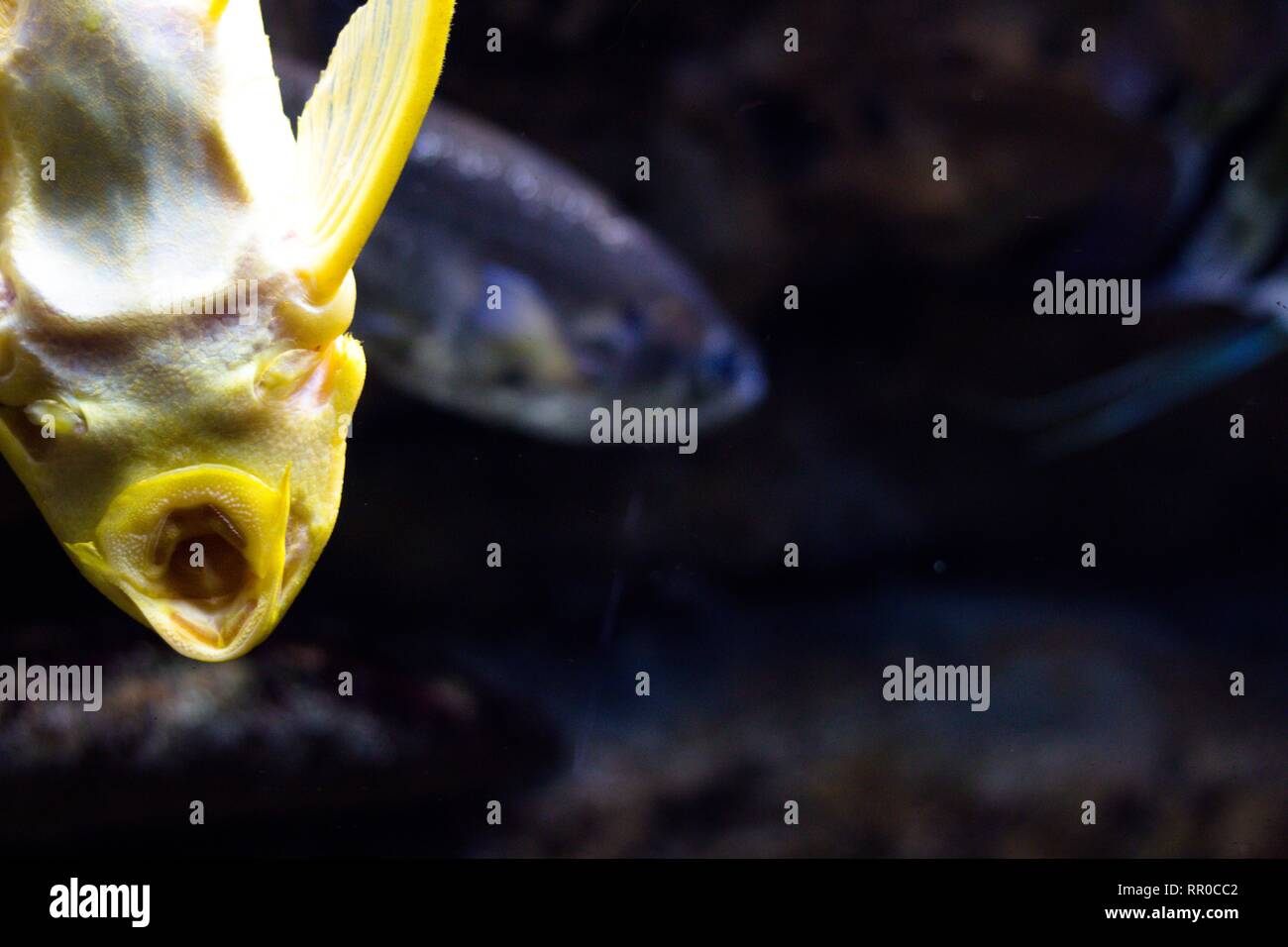 7cbc90a619 Belle couleur jaune poisson attaché à la vitre de l'aquarium. C'est