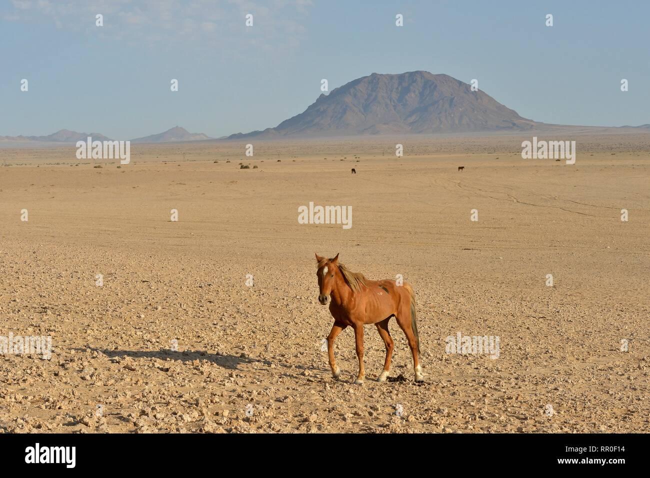 Zoologie, de Mammifères (Mammalia), Désert du Namib, cheval cheval sauvage de Namibie Namib ou (Equus ferus) près du, Additional-Rights Clearance-Info-Not-Available- Banque D'Images