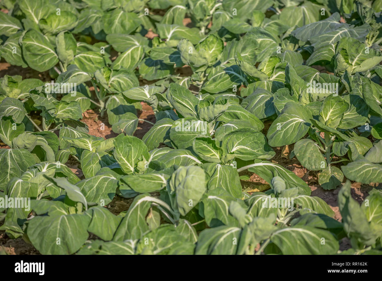 Vue d'un jardin potager avec des choux, l'agriculture biologique, avec tous les processus de l'artisan, la culture au Portugal Photo Stock
