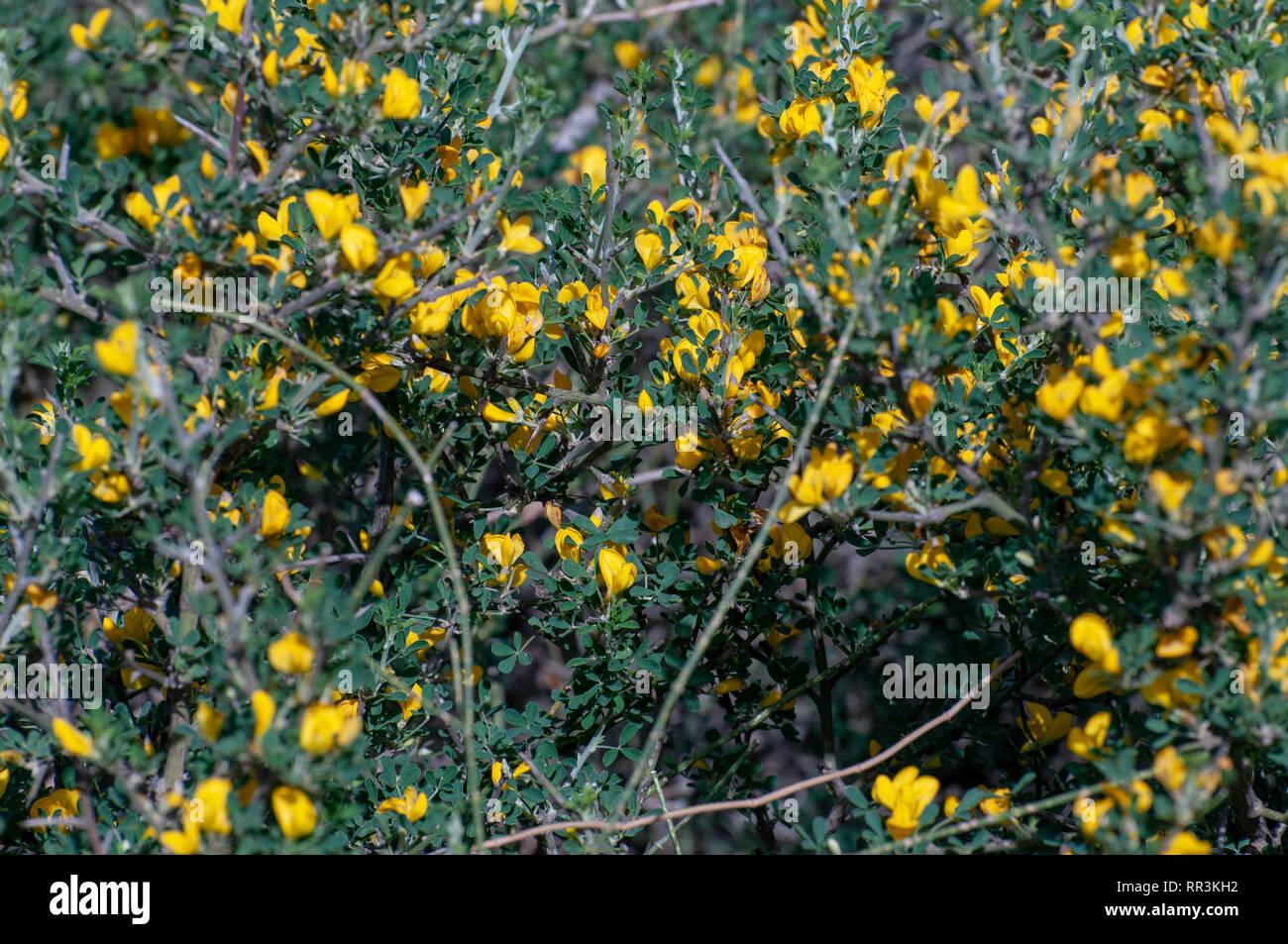 Calicotome villosa, également connu sous le nom de genêt épineux poilue et l'balai, est un petit arbre originaire de l'arbustif de la Méditerranée orientale. Photographié Photo Stock