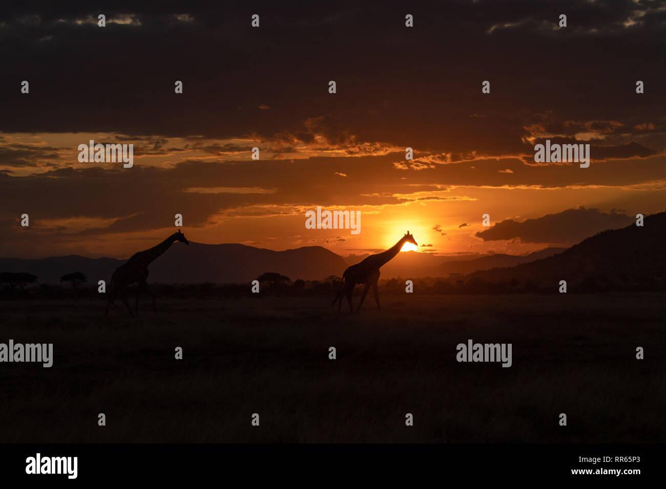 Girafe iconique dans struts coucher du soleil Kenyan Banque D'Images
