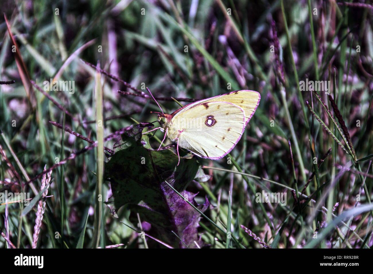 .Papillon jaune assombrie (Colias crocea).mâle sur l'herbage rugueux Photo Stock