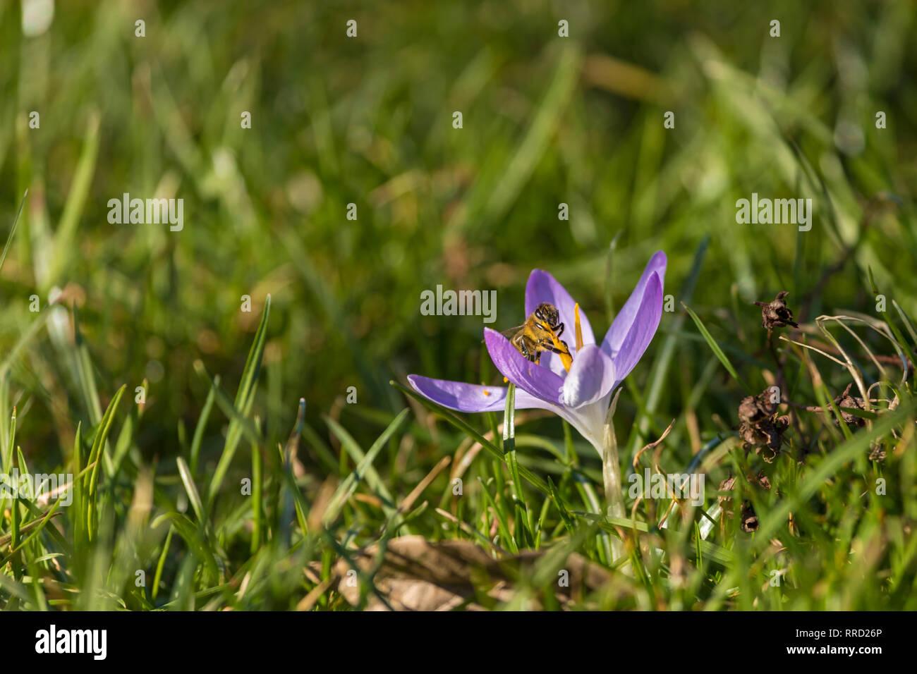 Polen d'abeille à partir de la fleur de Crocus dans un jardin Banque D'Images