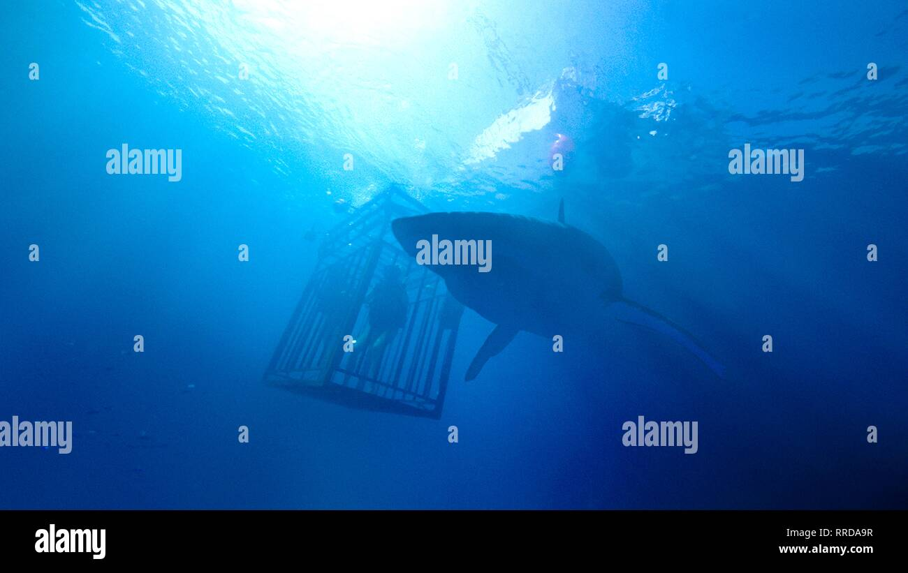 47 mètres plus bas, la cage de plongée , REQUIN, 2017 Photo Stock