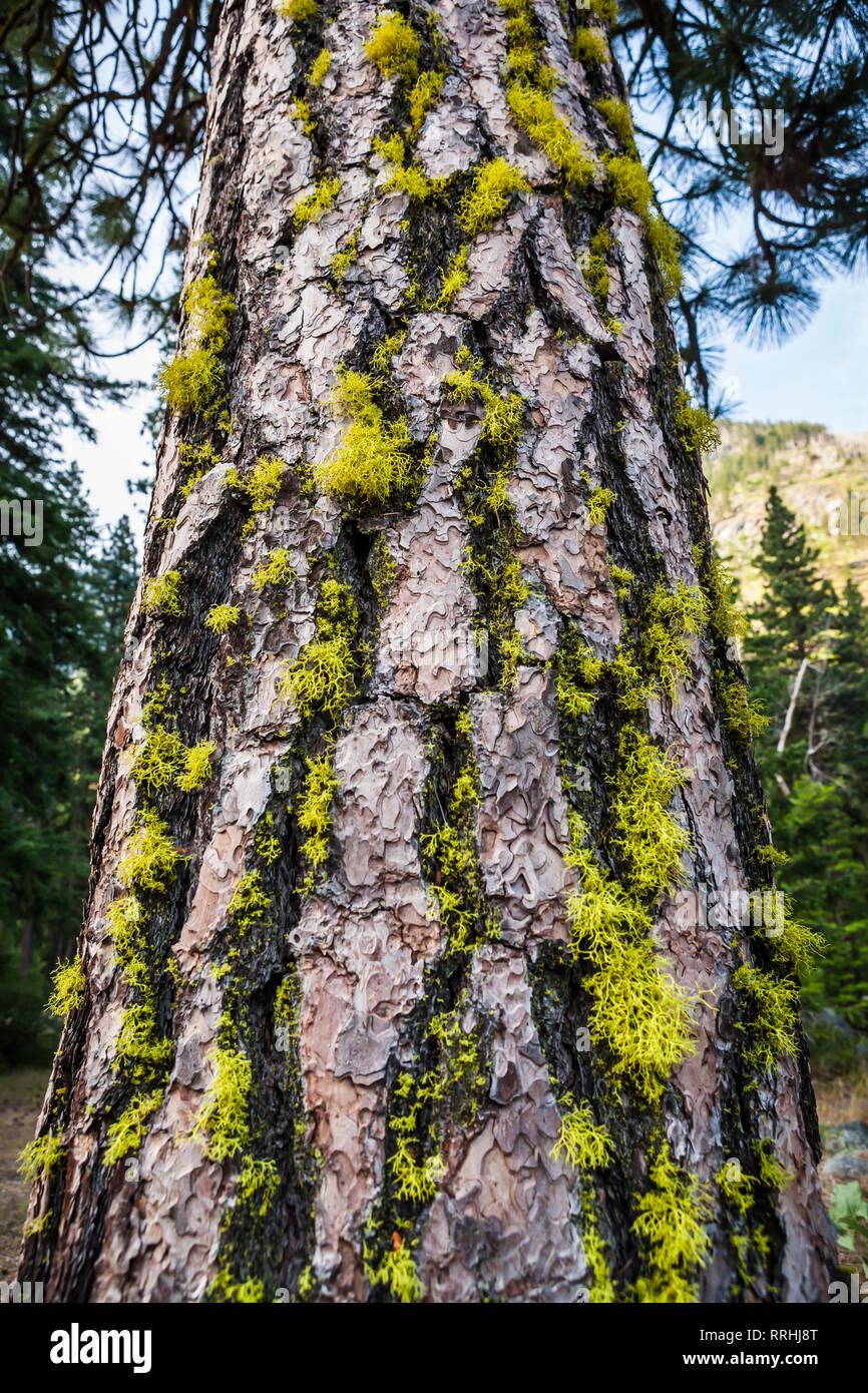 Une croissance du pin ponderosa avec le lichen de son écorce. Icicle Canyon, Cascades de Washington, USA. Photo Stock