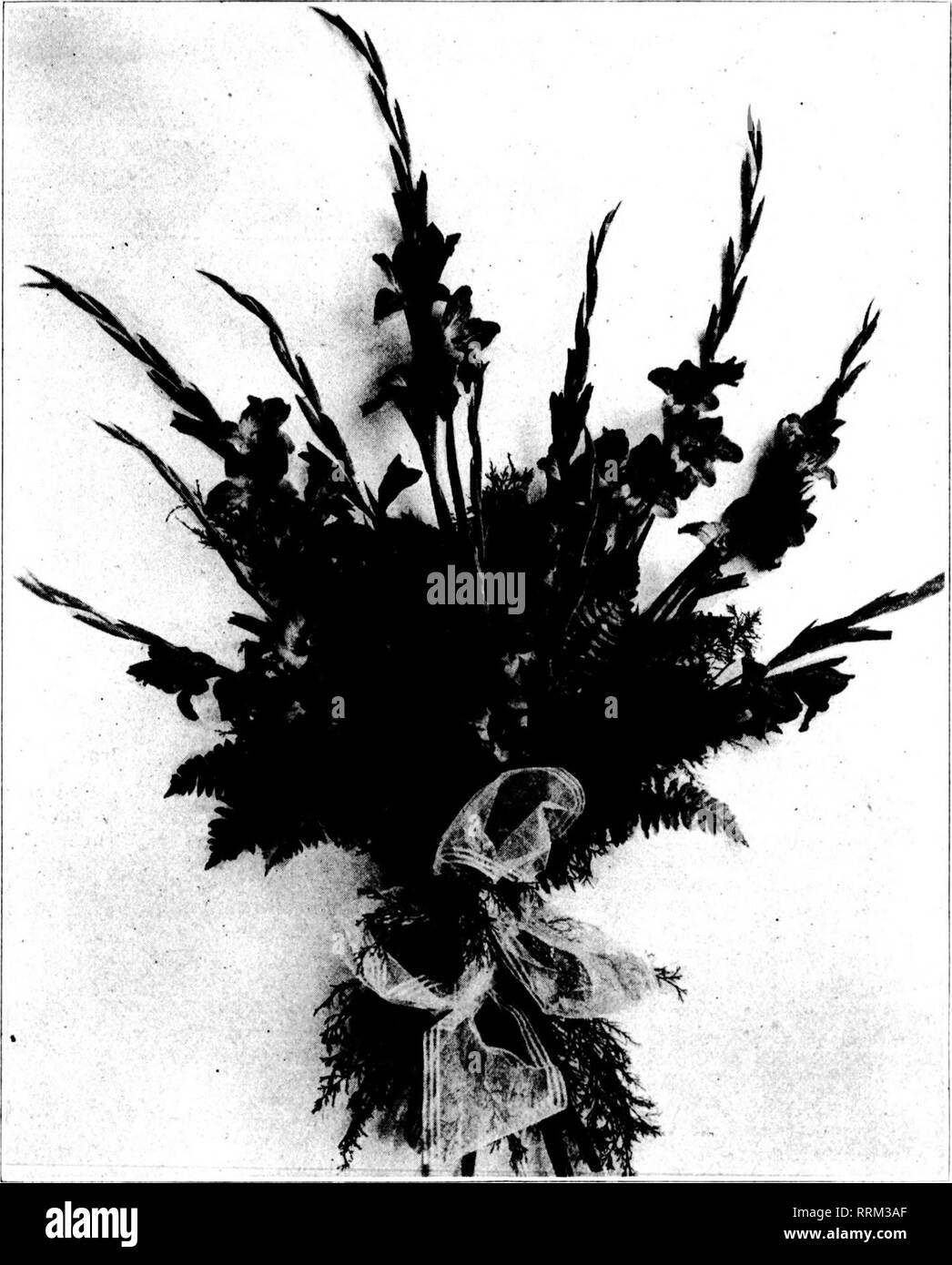 . Les fleuristes [microforme] examen. La floriculture. j,.,.v 26, 1917. Les fleuristes^ sa révision 13. '' ResiJi'&gt; staiit! Vorali' causi locati. (.?Arel'i i;iit c'est un mouvement qui souffre cruellement; est sans la considération qu'elle mer-:.e jugement de ce fleuriste à^ t souffre cruellement; est la base d'une sous-! La réussite; d'autres fois c'est le • si l'échec. Par conséquent chaque fa- et de l'état défavorable ,je et de quartier devraient être:,v pesé. Un GL/.DIOLUS ET CEDAR SPRAY. Til, iccompanyiug, illustration d'un fichier .sprav f gladioli par D. Blackistone Wasliivu Z.,'ton, D. C, est intéressant car, M. Blackistone expl Banque D'Images
