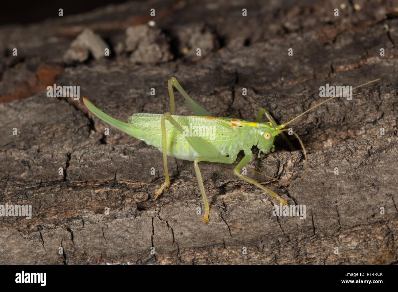Meconema thalassinum est un insecte de la famille Tettigoniidae connu sous le nom de oak bush-cricket et de tambour katydid. Photo Stock