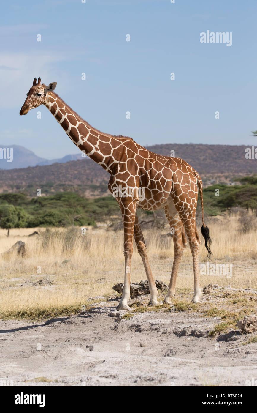 Girafe réticulée ou Somali, Giraffa camelopardalis reticulata, dans des prairies semi-arides, Buffalo Springs National Reserve, Kenya Banque D'Images