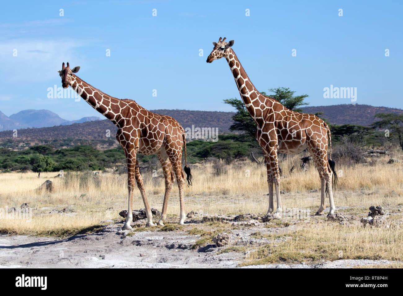 Deux somaliens ou réticulée, girafe Giraffa camelopardalis reticulata, dans des prairies semi-arides, Buffalo Springs National Reserve, Kenya Banque D'Images