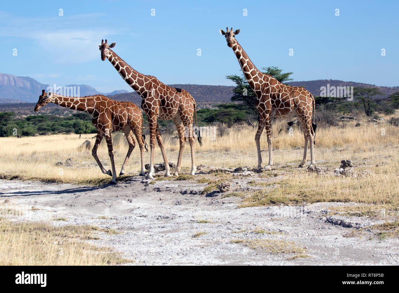 Trois somaliens ou réticulée, girafe Giraffa camelopardalis reticulata, dans des prairies semi-arides, Buffalo Springs National Reserve, Kenya Banque D'Images