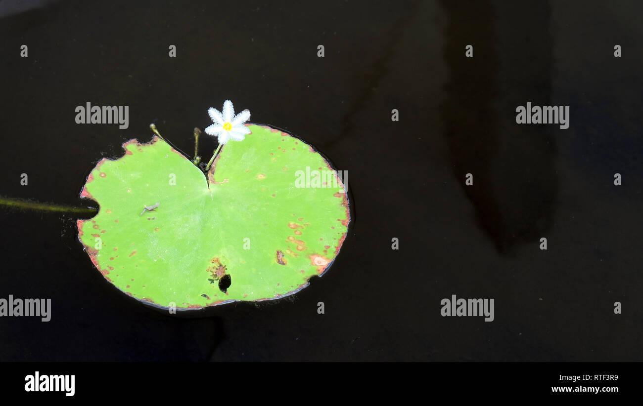 Petit nymphoides fleur, plus communément connu sous le nom de flocon de l'eau, cœur flottant ou marshwort robuste, et qu'une feuille sur une surface de l'eau. Photo Stock