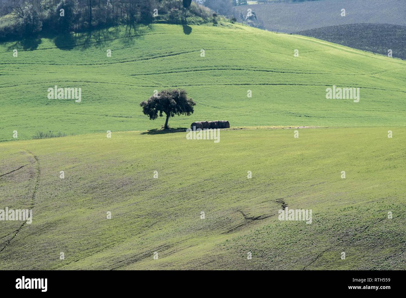 Lonely tree dans les champs verts de la campagne Toscane Banque D'Images