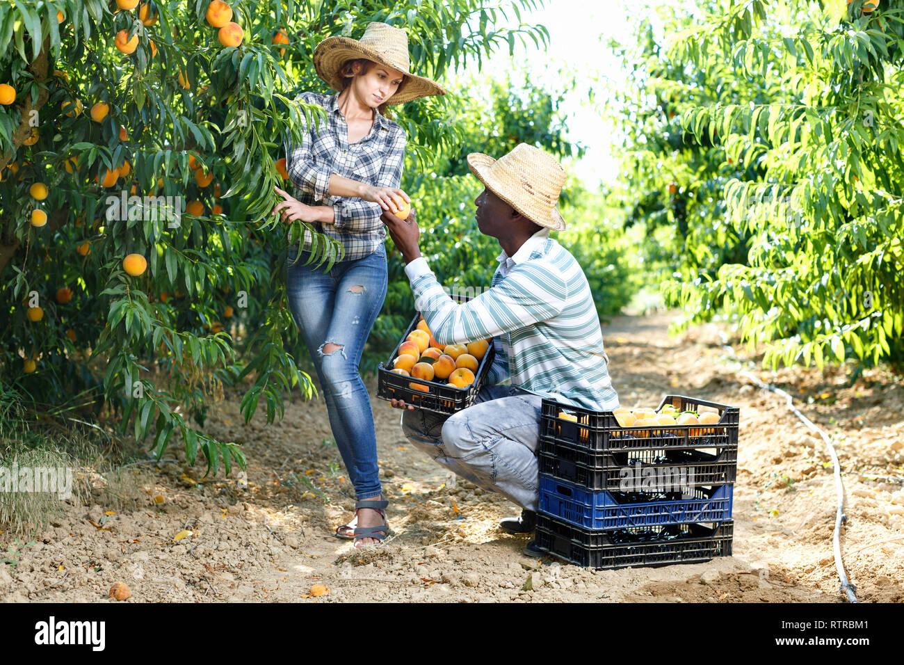 Jardin À L Américaine l'homme afro-américaine positive de la récolte dans le