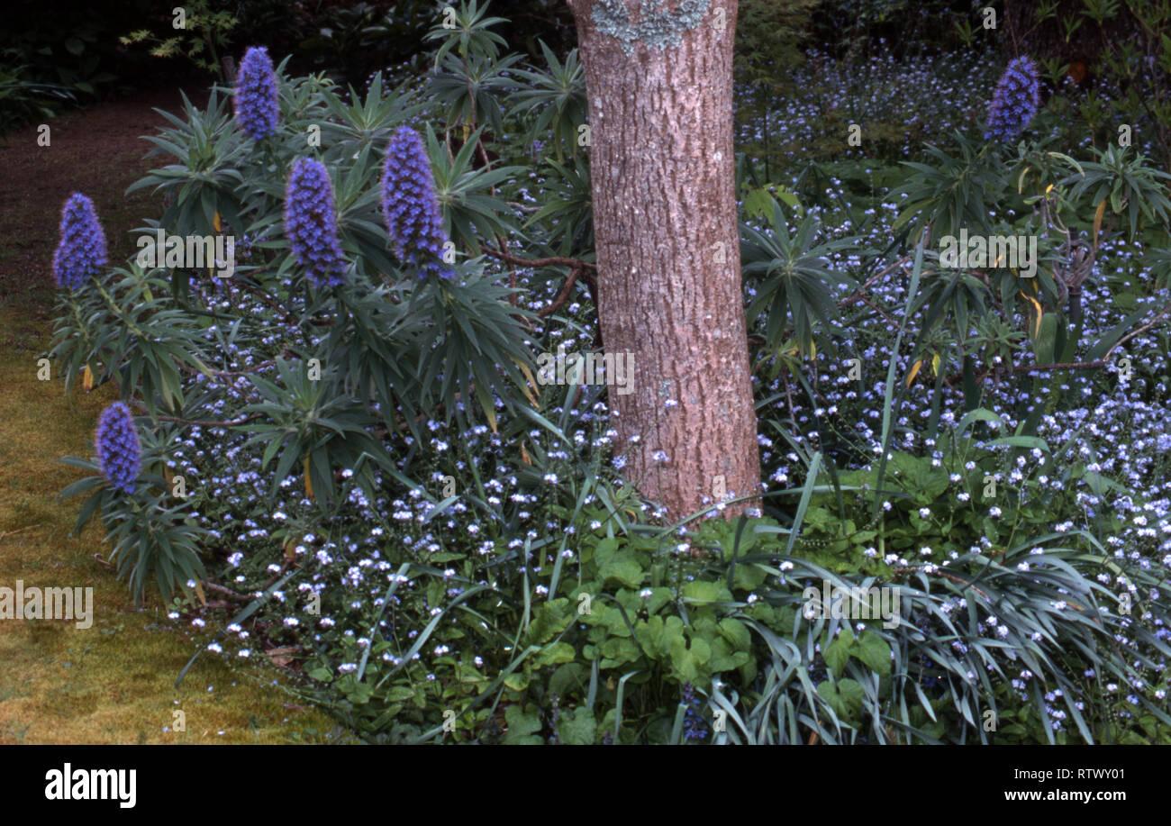 Echium Fastuosum Graines-Fierté de Madère Plante!
