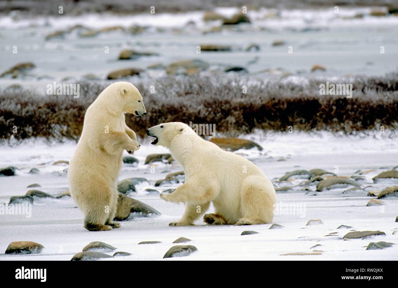 L'ours polaire (Ursus maritimus) playfighting près de Churchill Manitoba peut Banque D'Images