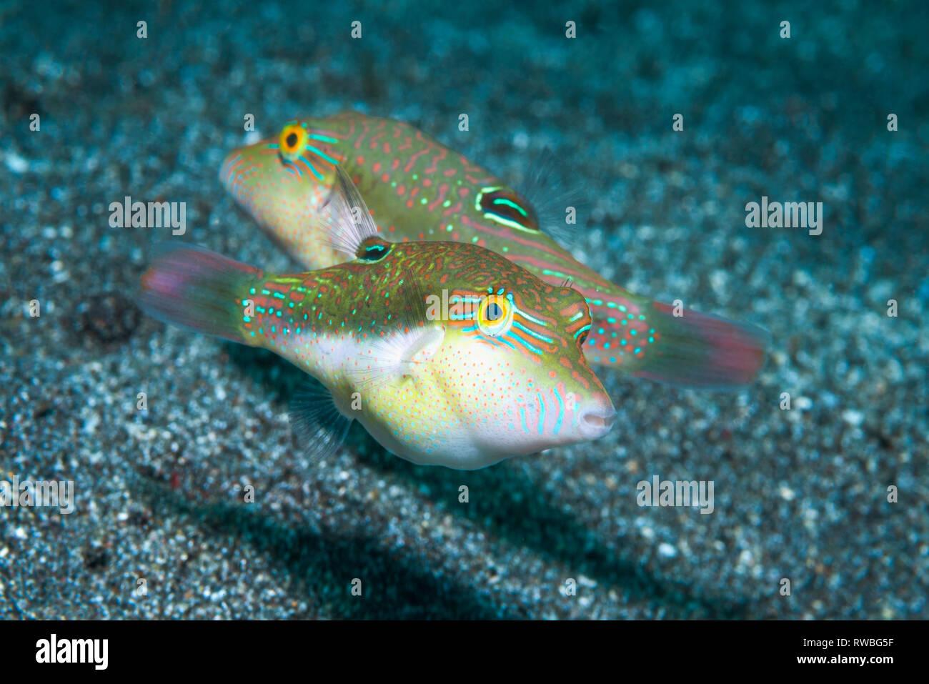 Les Bennets toby, Bennett's aiguillat puffer [Canthigaster bennetti]. Nord de Sulawesi, en Indonésie. Banque D'Images