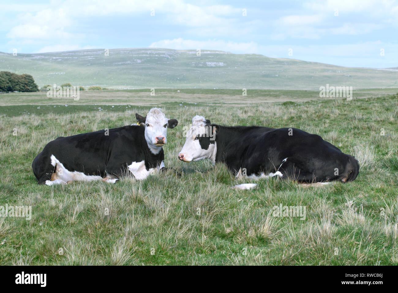 Les vaches sur les maures près de Malham Tarn dans le Yorkshire Dales. Une grande cicatrice étroite à l'arrière-plan. Banque D'Images