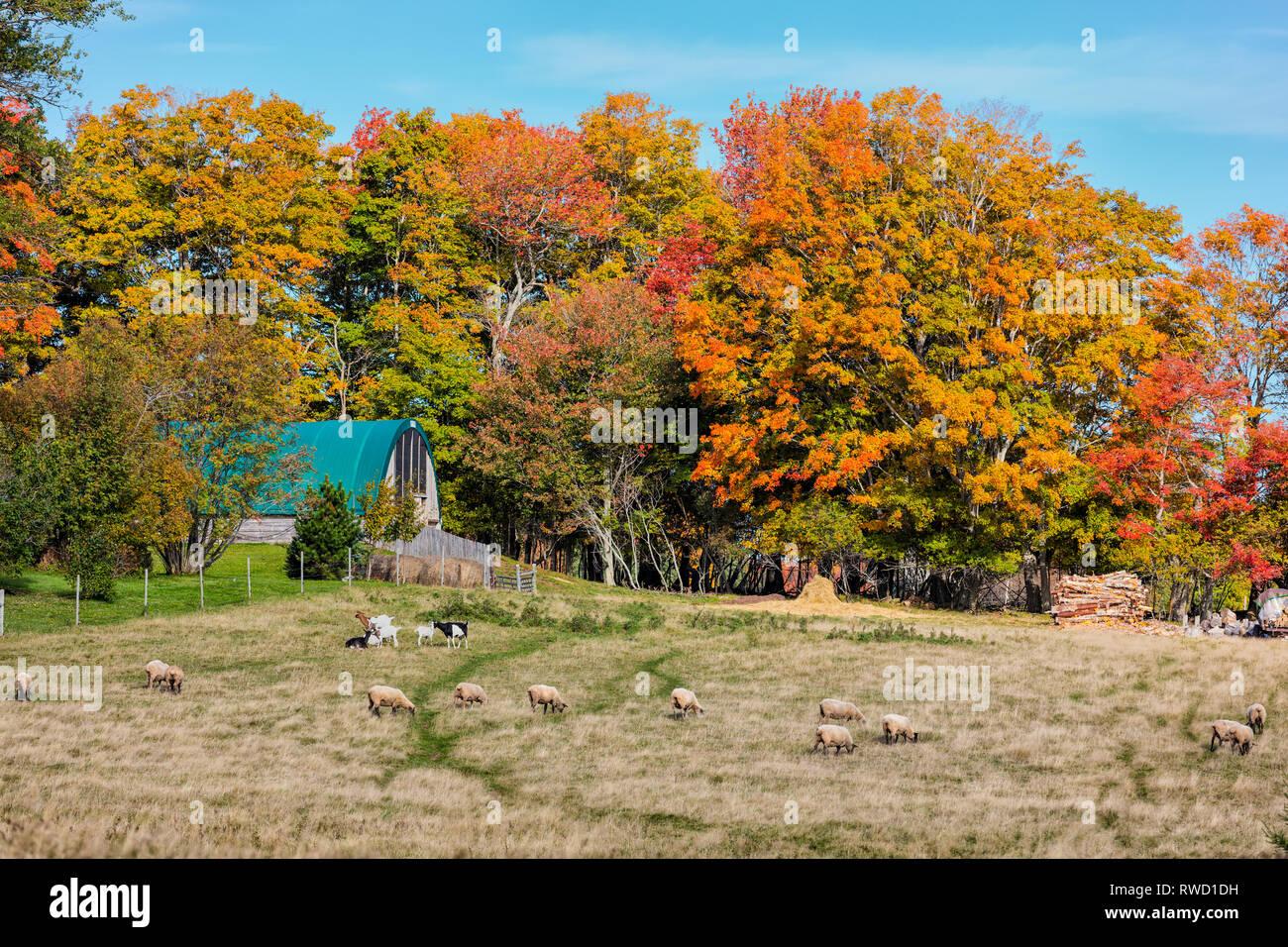 Le pâturage des moutons et des chèvres, Clyde River, Prince Edward Island, Canada Banque D'Images