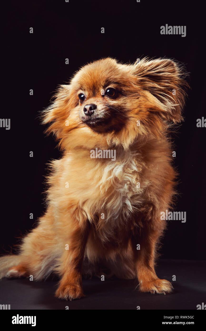 Portrait studio de plein-corps d'un chien Pomeranian à hors caméra, photographié sur un fond noir. Banque D'Images