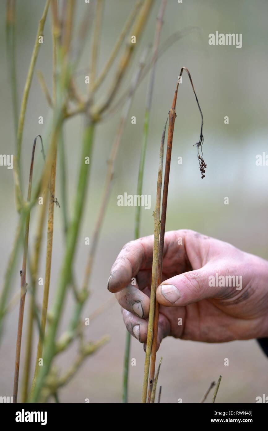 Faner les rameaux d'un frêne souffrant de chalarose du frêne champignon. Photo Stock