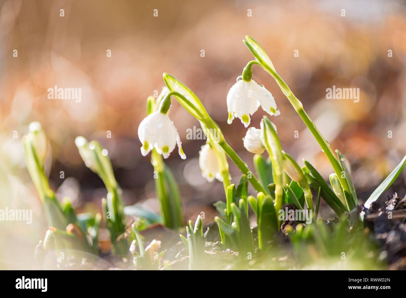 Perce-neige blanc en rétroéclairage. belles fleurs de printemps. Banque D'Images