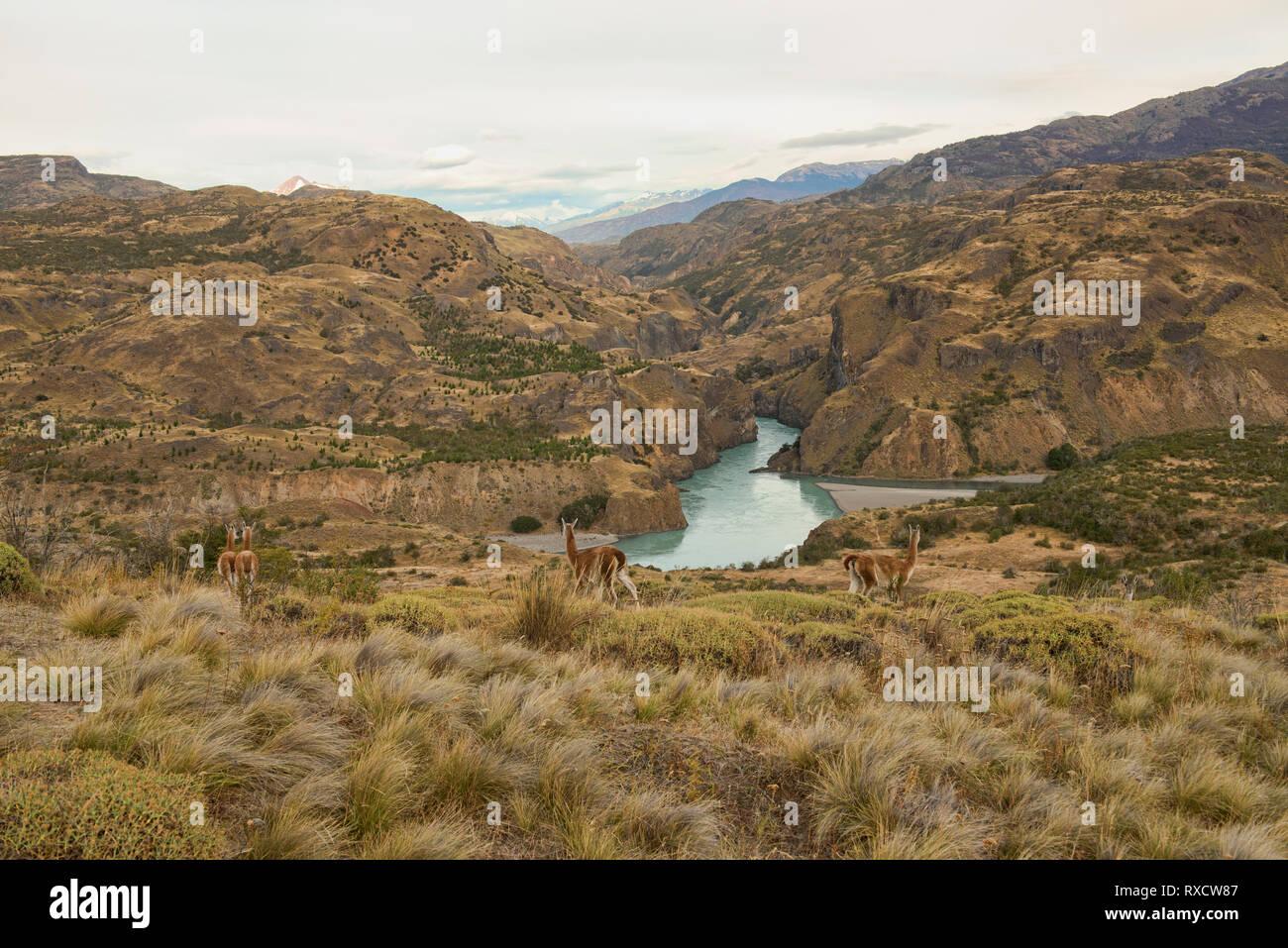Guanacos sauvages au-dessus du Rio Baker et Rio Chacabuco confluence, Patagonie Parc National, d'Aysen Patagonie, au Chili Banque D'Images
