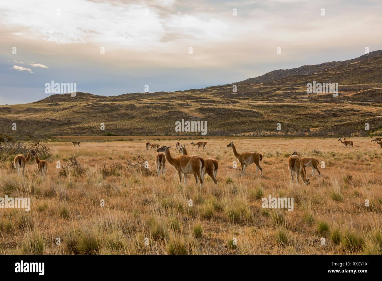 Guanacos sauvages de la Patagonie, le Parc National d'Aysen, en Patagonie, au Chili Banque D'Images