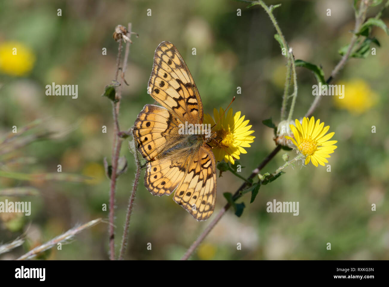 Variegated Fritillary Banque D'Images