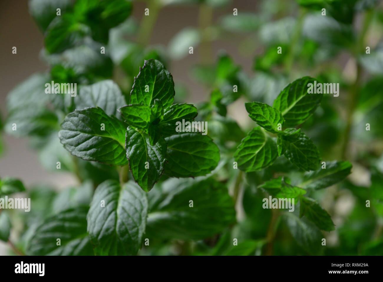 Plant De Menthe En Pot feuilles aromatiques d'un nouveau prêt pour la récolte de