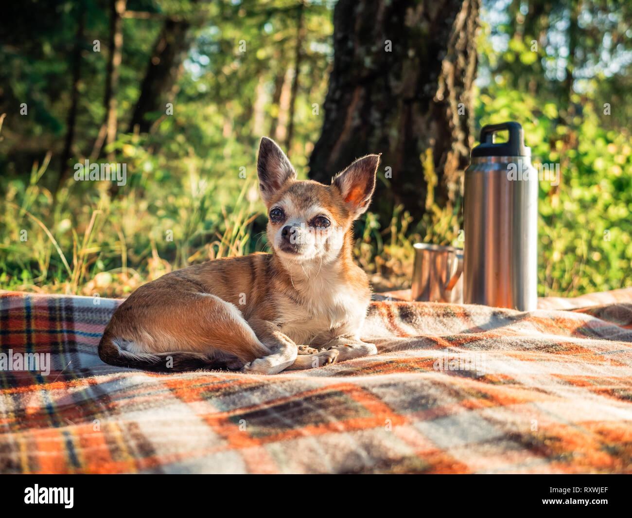 6b4e6ba1813ca Mignon petit chien chihuahua allongé sur une couverture dans la nature.  Close up petit chiwawa