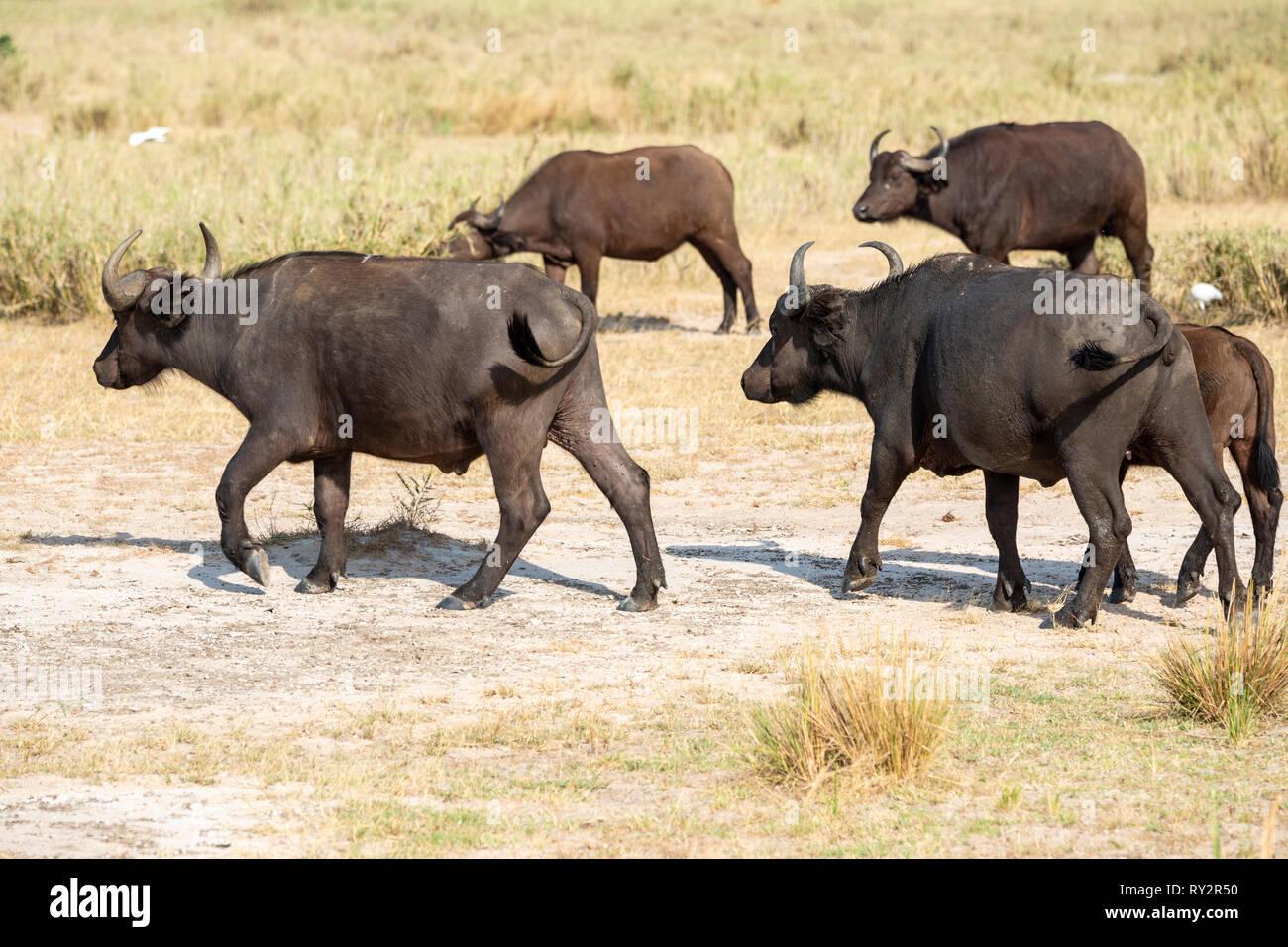 Groupe d'Afrique (syncerus caffer) bouge à Murchison Falls National Park, au nord de l'Ouganda, l'Afrique de l'Est Photo Stock