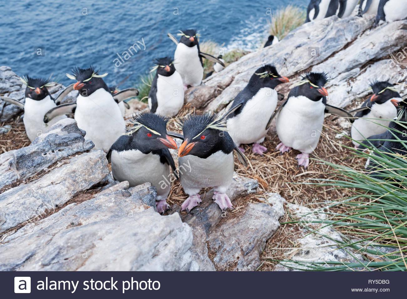 Un groupe de gorfous sauteurs (Eudyptes chrysocome chrysocome) sur le dessus d'un petit îlot, East Falkland, Îles Falkland Photo Stock